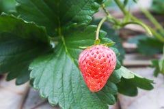Ώριμα κόκκινα stawberries Στοκ Εικόνα