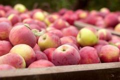 Ώριμα μήλα σε ένα εμπορευματοκιβώτιο, που συγκομίζει στον κήπο στοκ εικόνα