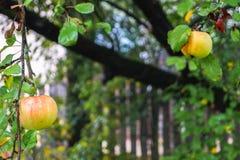 Ώριμα μήλα στις σταγόνες βροχής στον κλάδο δέντρων της Apple Στοκ Εικόνες