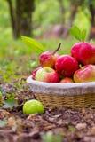 Ώριμα μήλα Στοκ εικόνα με δικαίωμα ελεύθερης χρήσης