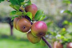 Ώριμα μήλα που αυξάνονται σε έναν κλάδο σε έναν οπωρώνα με το φυσικό υπόβαθρο Στοκ Εικόνες