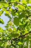 Ώριμα μήλα που κρεμούν σε έναν κλάδο στον κήπο Εκλεκτική εστίαση Στοκ Φωτογραφίες