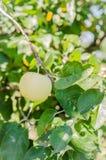 Ώριμα μήλα που κρεμούν σε έναν κλάδο στον κήπο Εκλεκτική εστίαση Στοκ εικόνα με δικαίωμα ελεύθερης χρήσης