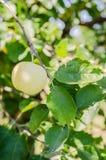 Ώριμα μήλα που κρεμούν σε έναν κλάδο στον κήπο Εκλεκτική εστίαση Στοκ φωτογραφίες με δικαίωμα ελεύθερης χρήσης