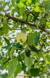 Ώριμα μήλα που κρεμούν σε έναν κλάδο στον κήπο Εκλεκτική εστίαση Στοκ εικόνες με δικαίωμα ελεύθερης χρήσης