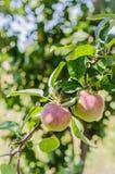 Ώριμα μήλα που κρεμούν σε έναν κλάδο στον κήπο Εκλεκτική εστίαση Στοκ Εικόνες