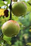 Ώριμα μήλα στις σταγόνες βροχής στον κλάδο δέντρων της Apple Στοκ Φωτογραφία