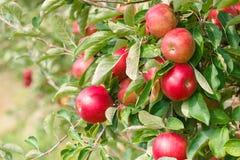 Ώριμα μήλα στο δέντρο μηλιάς, κινηματογράφηση σε πρώτο πλάνο Στοκ Εικόνες