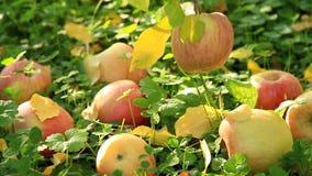 Ώριμα μήλα στο έδαφος απόθεμα βίντεο