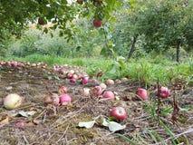 Ώριμα μήλα στο έδαφος Στοκ εικόνες με δικαίωμα ελεύθερης χρήσης
