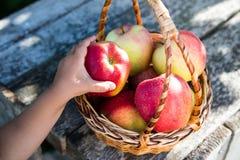 Ώριμα μήλα στο καλάθι στον αγροτικό πίνακα Κόκκινα μήλα φθινοπώρου Στοκ Εικόνες