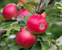 Ώριμα μήλα Στοκ εικόνες με δικαίωμα ελεύθερης χρήσης