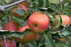 Ώριμα μήλα Στοκ φωτογραφίες με δικαίωμα ελεύθερης χρήσης