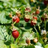 Ώριμα μούρα της άγριας φράουλας Στοκ Εικόνα