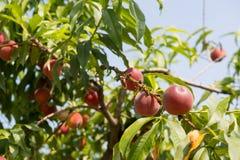 Ώριμα νεκταρίνια στο δέντρο στοκ φωτογραφία με δικαίωμα ελεύθερης χρήσης