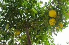 Ώριμα πορτοκάλια Στοκ Εικόνες