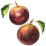 Ώριμα πορφυρά φρούτα μήλων αστεριών, cainito chrysophyllum που απομονώνεται, απεικόνιση watercolor ελεύθερη απεικόνιση δικαιώματος