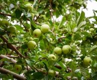 Ώριμα πράσινα μήλα σε ένα δέντρο κλάδων Στοκ εικόνα με δικαίωμα ελεύθερης χρήσης