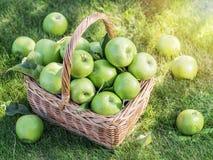 Ώριμα πράσινα μήλα συγκομιδών της Apple στο καλάθι στα πράσινα gras Στοκ Φωτογραφίες