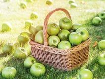 Ώριμα πράσινα μήλα συγκομιδών της Apple στο καλάθι στα πράσινα gras Στοκ Εικόνα