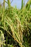 Ώριμα σιτάρια ρυζιού στην Ασία πριν από τη συγκομιδή Στοκ Φωτογραφία
