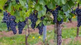 Ώριμα σταφύλια στο autumntime στην Αυστρία, Burgenland στοκ εικόνες