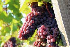 Ώριμα σταφύλια κόκκινου κρασιού Στοκ Εικόνα