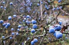 Ώριμα φρούτα ενός αγκαθιού στοκ φωτογραφίες
