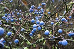 Ώριμα φρούτα ενός αγκαθιού στοκ φωτογραφία με δικαίωμα ελεύθερης χρήσης