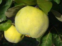 Ώριμα φρούτα κυδωνιών στοκ εικόνα με δικαίωμα ελεύθερης χρήσης