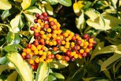 Ώριμα φρούτα νάνου Schefflera, Arboricola Στοκ Φωτογραφίες