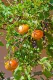 Ώριμα φρούτα ροδιών στο δέντρο Στοκ φωτογραφίες με δικαίωμα ελεύθερης χρήσης