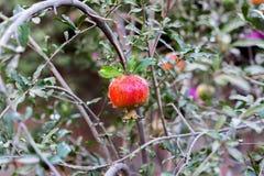 Ώριμα φρούτα ροδιών στον κλάδο δέντρων, υπόβαθρο φυλλώματος Στοκ Εικόνα
