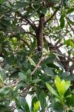 Ώριμα φρούτα φραουλών στο δέντρο φραουλών unedo arbutus από την περιοχή Μεσογείων Στοκ Εικόνα
