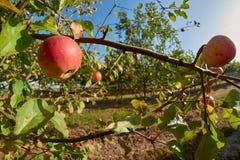 Ώριμα, όμορφα μήλα στους κλάδους των δέντρων μηλιάς Στοκ φωτογραφίες με δικαίωμα ελεύθερης χρήσης
