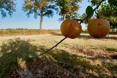 Ώριμα, όμορφα μήλα στους κλάδους των δέντρων μηλιάς Στοκ εικόνα με δικαίωμα ελεύθερης χρήσης