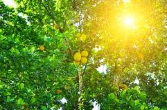 Ώριμα Artocarpus αρτόκαρπων altilis σε ένα δέντρο Στοκ φωτογραφίες με δικαίωμα ελεύθερης χρήσης