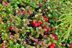 Ώριμα cowberries στους θάμνους στοκ φωτογραφία