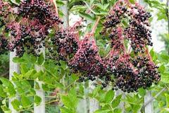 Ώριμα elderberry μπούσελ στοκ φωτογραφία με δικαίωμα ελεύθερης χρήσης