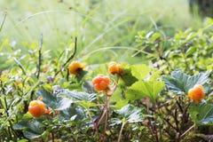 Ώριμα juicy cloudberries στο βόρειο δάσος σε ένα έλος που καλύπτεται στοκ εικόνα