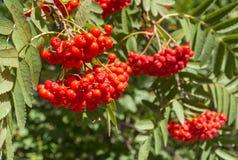 Ώριμα rowanberry φρούτα στο δέντρο σορβιών Στοκ φωτογραφία με δικαίωμα ελεύθερης χρήσης