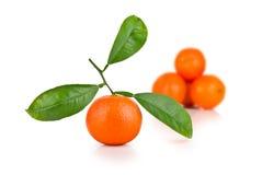 ώριμα tangerines φύλλων Στοκ Εικόνες