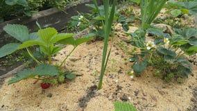 Ώριμες και εύγευστες φράουλες που αυξάνονται στο Μπους στον κήπο Στοκ εικόνα με δικαίωμα ελεύθερης χρήσης