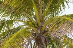 Ώριμες καρύδες που συσσωρεύονται σε έναν σωρό κάτω από ένα δέντρο Στοκ Εικόνες