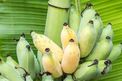 Ώριμες καλλιεργημένες μπανάνες Στοκ εικόνα με δικαίωμα ελεύθερης χρήσης