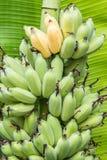 Ώριμες καλλιεργημένες μπανάνες Στοκ Εικόνες