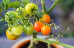 Ώριμες κόκκινες και unripe πράσινες ντομάτες κερασιών σε έναν κλάδο στοκ φωτογραφία με δικαίωμα ελεύθερης χρήσης