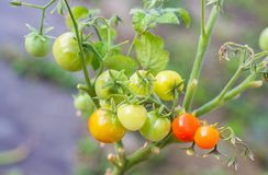 Ώριμες κόκκινες και unripe πράσινες ντομάτες κερασιών σε έναν κλάδο στοκ εικόνα με δικαίωμα ελεύθερης χρήσης