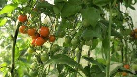 Ώριμες κόκκινες ντομάτες κερασιών που κρεμούν σε έναν κλάδο απόθεμα βίντεο