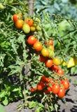Ώριμες ντομάτες κερασιών που αυξάνονται στους κλάδους Ντομάτες κερασιών Στοκ φωτογραφία με δικαίωμα ελεύθερης χρήσης